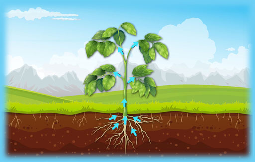 Identify the correct path of water movement in a plant, as represented in a flow chart comprising the parts of a plant.