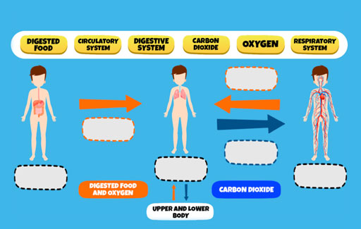 Infer and Identify the respiratory, circulatory and digestive systems in a schematic diagram containing information on substances that are being transported across these organ systems.