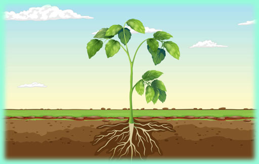 Apply understanding of stem functional anatomy to Recognise the picture of a plant which shows the deliberate removal of the Xylem and the Phloem (at different locations) and Predict & Explain the symptoms on different parts of a plant as a result.